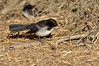 Young Willie Wagtail<br /> Hamilton, February 2013