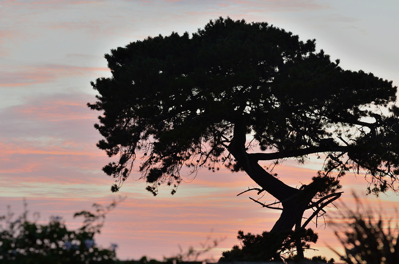 Does it count if there are birds hiding in the Cypress?<br /> Warrnambool sunrise, January 2013