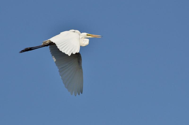 Great Egret<br /> Lake Hamilton, February 2013