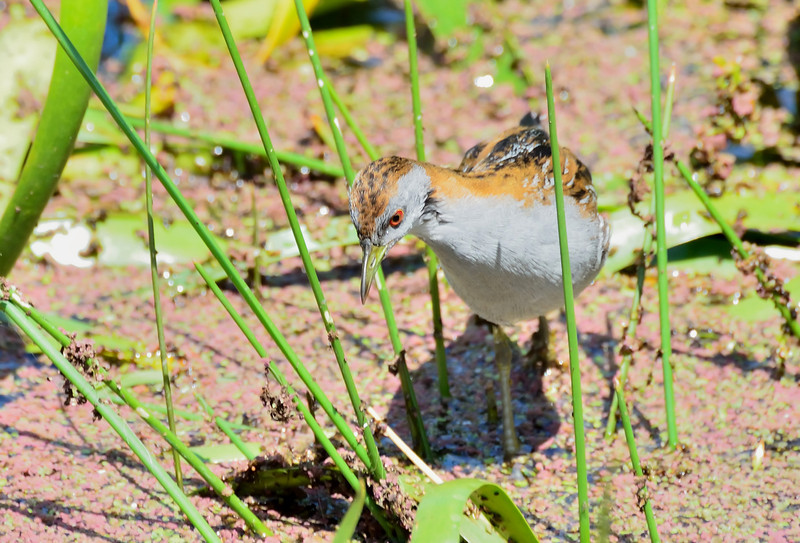 Baillon's Crake, Lake Hamilton (Hamilton, Vic) November 2012<br /> As long as I held perfectly still, this little one was happy to come quite close to me, but the bright sunlight was not my friend on this day.