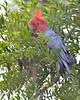 Gang Gang Cockatoo (male)