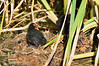 Dusky Moorhen chicks<br /> Lake Hamilton, February 2013