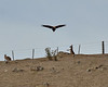 The roo with its hands up had actually jumped up and batted at the eagle as it swooped down.