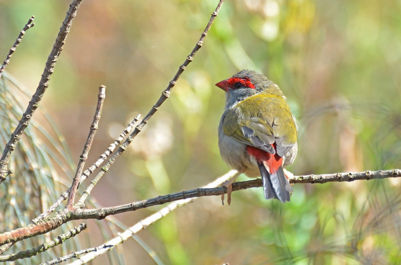 Red-browed Finch, Tower Hill, January 2013