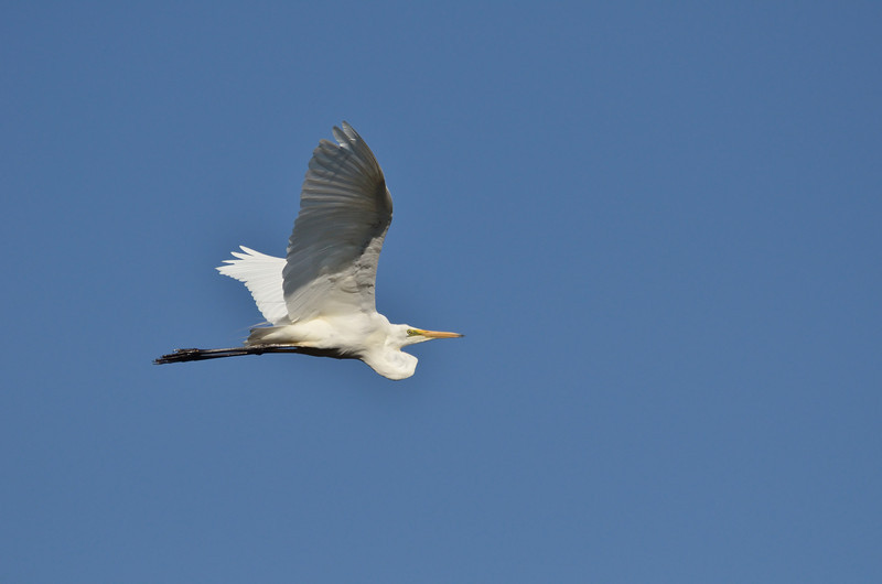 Great Egret (uncropped)<br /> Lake Hamilton, February 2013