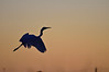 Great Egret silhouetted against the sunrise. Lake Hamilton, February 2013