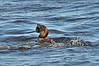 Male Musk Duck<br /> Lake Hamilton, Vic  February 2013