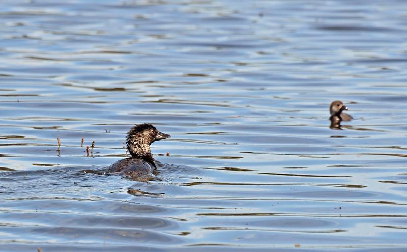 Musk Duck Mama heading toward Junior<br /> Hamilton, Vic - November 2012