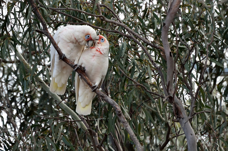 Whispering sweet nothings...<br /> Long-billed Corellas, Halls Gap, Grampians National Park<br /> May 2013