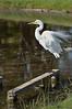 Great Egret<br /> Lake Pertobe, Warrnambool<br /> February 2013