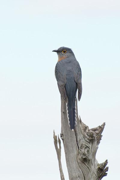 Fan-tailed Cuckoo at Braeside Park, August 2011