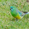 Red-rumped Parrot, male.  Shepherd's Bush, August 2011<br /> (rump not shown ;))