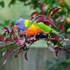 All things bright and beautiful....<br /> Frequent backyard visitors when the plums are ready to steal, they have to compete with Crimson Rosellas, Red Wattlebirds, Ravens, Blackbirds, and horrible, nasty Indian Mynahs.