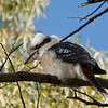 Kookaburra<br /> Jell's Park, Victoria