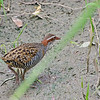*sigh*  Stupid blade of grass...<br /> Another place-holder for a better image of a Buff-banded Rail<br /> December 2011 - Jells Park