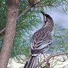 Red Wattlebird, Wantirna South, October 2011