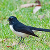 Willie Wagtail, Royal Botanic Garden, Melbourne<br /> April 2011