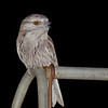 A most welcome night-time visitor to the back yard.<br /> Tawny Frogmouth, September 2011
