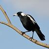 Australian Magpie, Jell's Park, August 2011