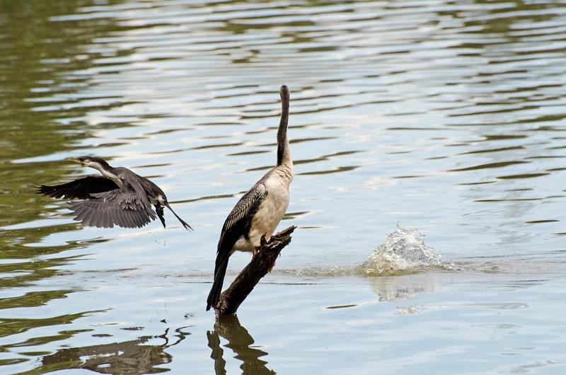 Little Pied Cormorant and Darter<br /> Jells Park<br /> December 2011