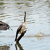 Little Pied Cormorant and Darter<br /> Jells Park<br /> December 2011