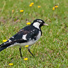 Magpie-lark, Mudlark, Peewee... take your pick :)
