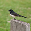 Willie Wagtail posing, Braeside Park, April 2011