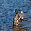Some sort of mallard/domestic hybrid at Jells Park.  Managed to get the body of the duck in focus.. maybe next time it will be the wings as well.