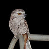 Tawny Frogmouth<br /> Wantirna, September 2011