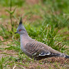 Crested Pigeon, Braeside Park