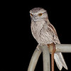 Tawny Frogmouth,<br /> September 2011