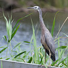 White-faced Heron, Jells Park, December 2011<br /> These birds seem to be -very- abundant this year.