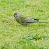 Red-rumped Parrot, female.  Shepherd's Bush, August 2011<br /> How is this in any way fair, I ask you?