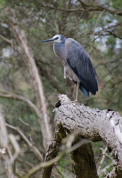 White-faced Heron, Jells Park, December 2011<br /> It was posing... how could I resist?