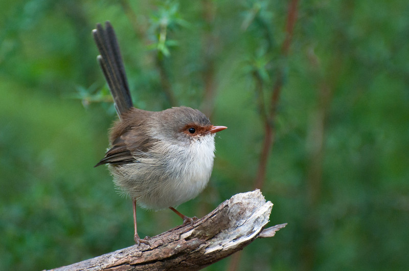 Superb Fairy-wren, female.  Cranbourne, April 2011
