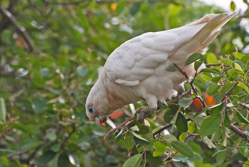 Little Corella at breakfast.<br /> Wantirna South, February 2011
