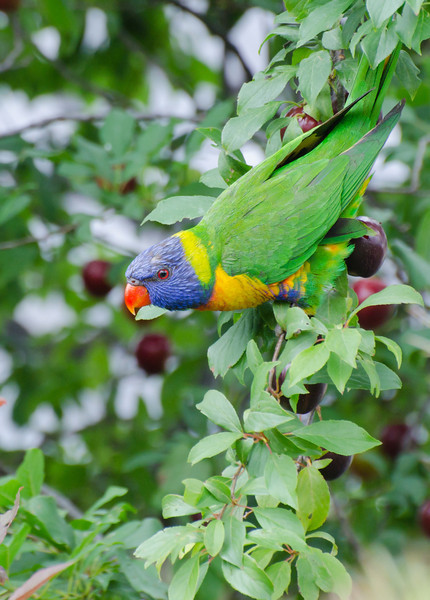 Rainbow Lorikeet trying to decide if it wants red or yellow plums today...