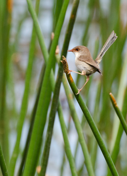 It was fun watching this little lady hopping around in the reeds.<br /> Superb Fairy-wren, Jells Park, December 2011