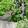 Common Blackbird, about to grab a share in the plum bounty. The lorikeet from the previous image has retreated back into the thicker foliage.