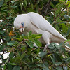 Little Corella<br /> Wantirna South, February 2011