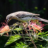 Red Wattlebird, Wantirna December 2011