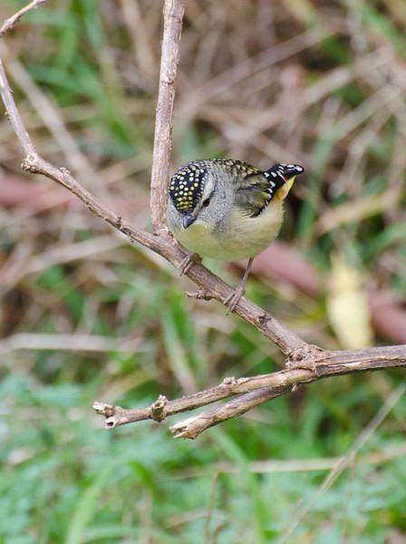 Spotted Pardalote, Braeside Park, August 2011