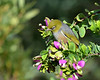 Silvereye<br /> Balcombe Estuary Reserve, July 2013