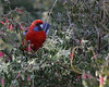 Crimson Rosella<br /> Balcombe Estuary Reserve, July 2013
