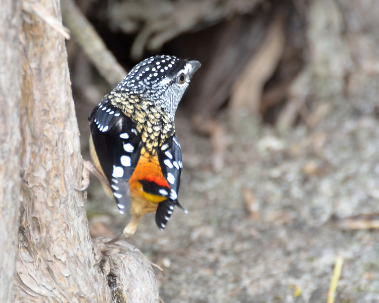 Spotted Pardalote<br /> Balcombe Estuary Reserve, July 2013
