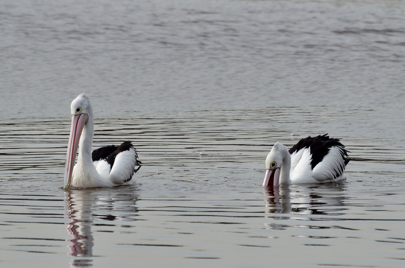 These pelicans were not a common site on the Balcombe Estuary this winter (2013).