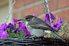 A welcome visitor!<br /> Grey Butcherbird, Mornington, Victoria<br /> May 2013