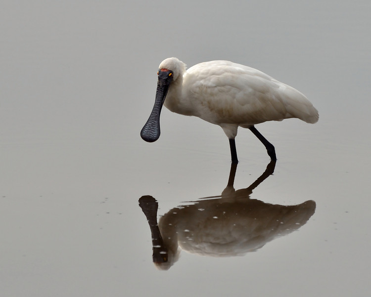 This Royal Spoonbill was a most cooperative model.<br /> Balcombe Estuary, August 2013