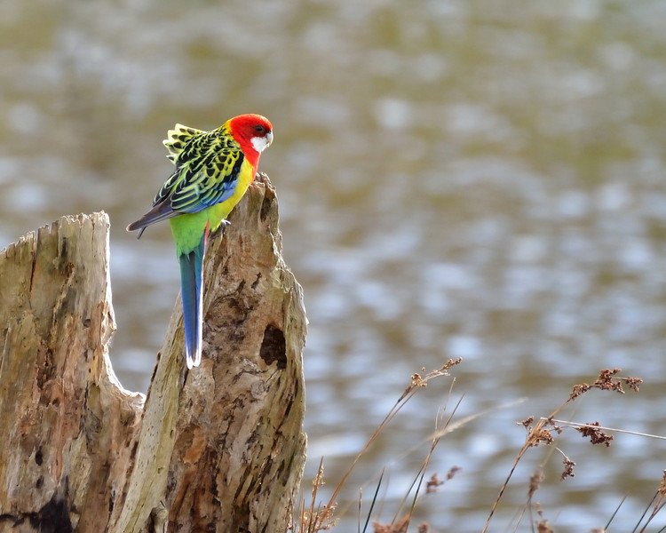 Eastern Rosella<br /> 'The Briars' Mount Martha.  July 2013
