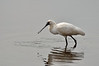 Royal Spoonbill<br /> Balcombe Estuary Reserve<br /> August 2013